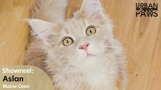 Cat Training: Aslan (Maine Coon)