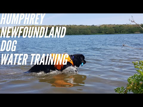 Humphrey ,Newfoundland dog water rescue training