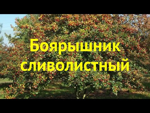Боярышник. Краткий обзор, описание характеристик, где купить саженцы Crataegus х Prunifolia