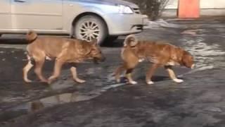 Осторожно: голодные собаки!