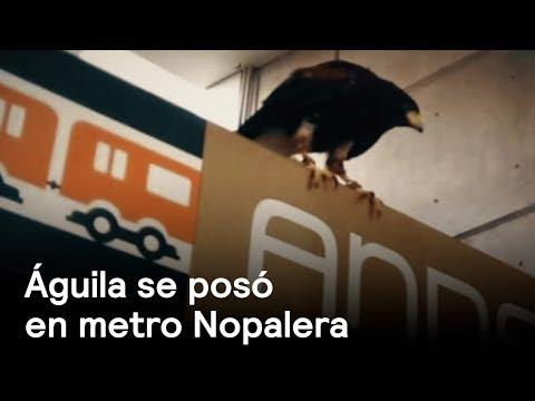 Águila se posa en la estación de Metro Nopalera - CDMX - En Punto con Denise Maerker