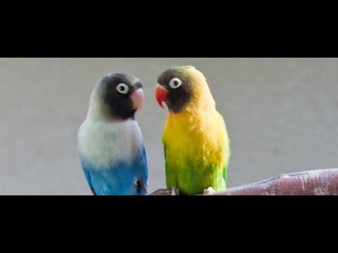 Different types of love bird Pairs 03459442750 Zain Ali farming in Pakistan