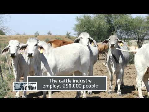 The Australian Cattle Industry