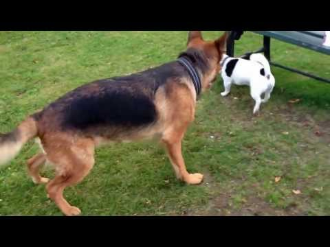 German Shepherd attacks jack russel!