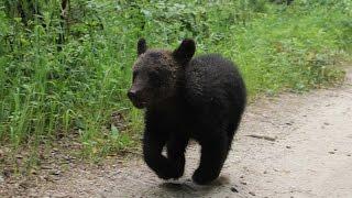 Жительница Тынды сняла на видео гуляющего по городу медвежонка(