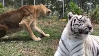 Tiger White Tiger Lion Tiger Tiger Lion