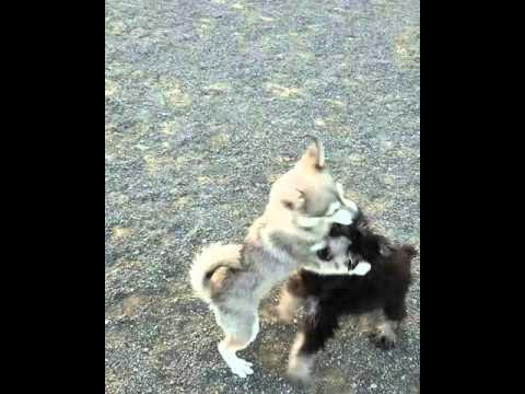 Alaskan Klee Kai Puppy vs Mini Schnauzer Puppy
