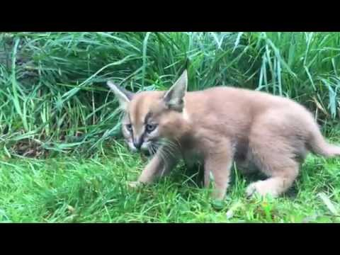 Thumbnail for Cat Video 6-week-old caracal kittens venture outside with mom