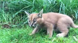 6-week-old caracal kittens venture outside with mom