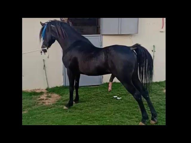 للبيع حصان عربي مختوم ادهم نحت وجسم نار Youtube