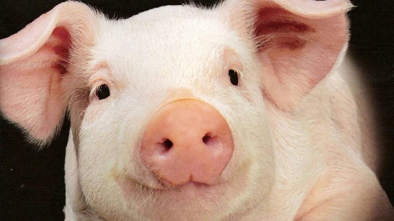 Зайца, свинья в картинках