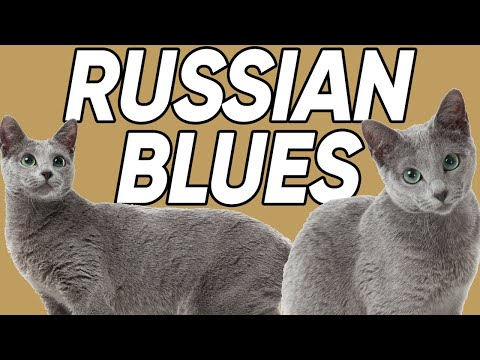 7 FASCINATING Facts About The Russian Blue Cat Breed