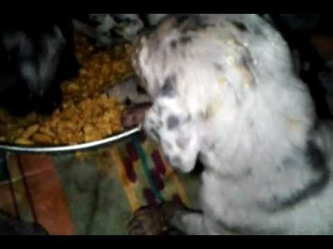 Great Dane pups first time eating puppy food...