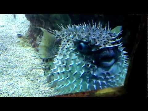 Why Do Pufferfish