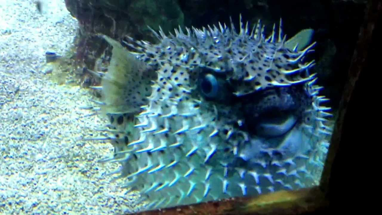 Why do pufferfish puff up youtube for Puffer fish puffing
