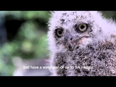 Savannah, two week old African Spotted Eagle Owl from East Sussex Falconry