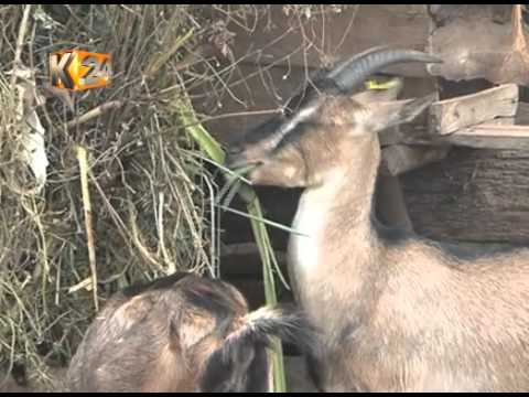 Dairy goat farmers in Kirinyaga reap big on Djibouti exportation