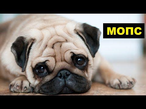 Собака Мопс плюсы и минусы породы | Собаководство | Порода Мопс