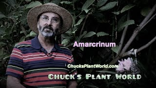 Amarcrinum planting and gardening tips from Plant Design Specialist, Chuck Schwartz