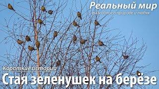 Стая зеленушек на берёзе. Обыкновенная зеленушка (Carduelis chloris).