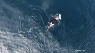 Кит-убийца проглотил акулу.