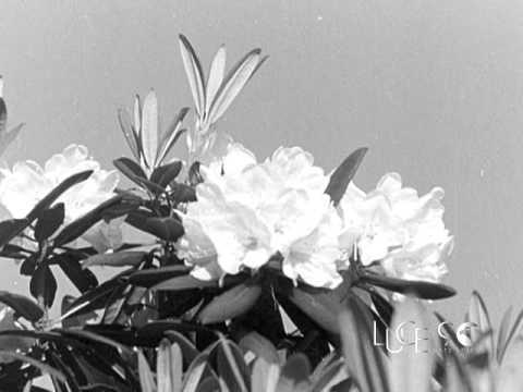 La stagione delle mondine (1954)