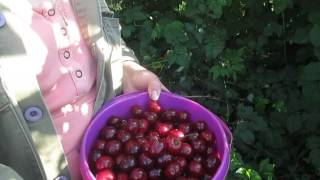 видео Вишня Шоколадница - описание сорта, посадка и уход