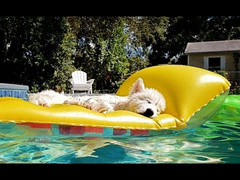 Husky Puppy Sleeps On Float In Pool In Florida❤️!