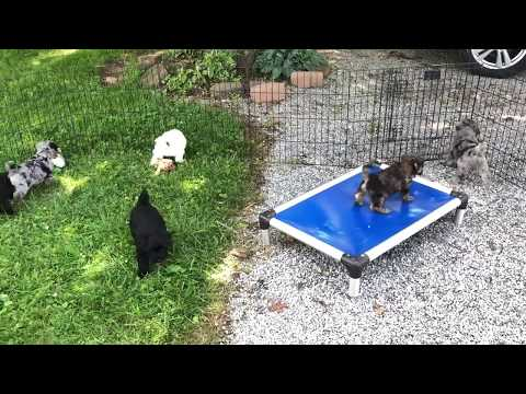 Brandy's Schnoodle puppies June 28th, 2019