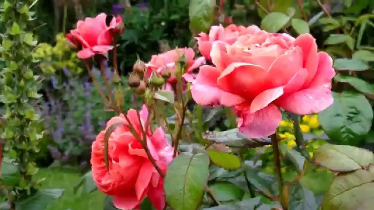 Roses In Garden: DAVID AUSTIN ROSES IN MY GARDEN