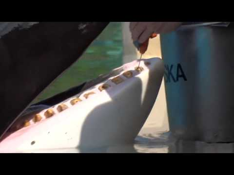 Kiska's painful teeth irrigation at Marineland, Canada 2014