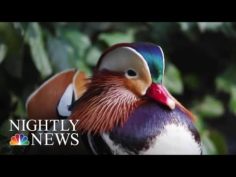 A Mysterious Mandarin Duck In Central Park Fascinates And Delights | NBC Nightly News