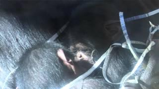 Download Video Chimpanzee baby twins MP3 3GP MP4