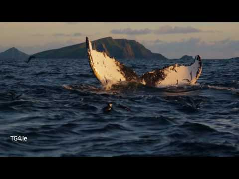 Éire Fhiáin | Clip from Ep1 Humpback Whales off the Blasket Islands | TG4