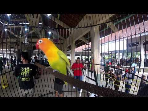 Lovebird ( KONSLET ) GENDEWO Goyang Dumang Di  Atas Gantangan
