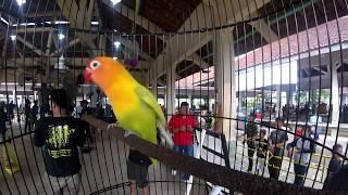 Top Hits -  Lovebird Konslet Gendewo Goyang Dumang