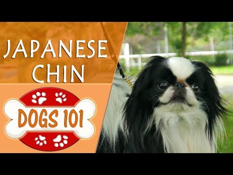 Dogs 101 - JAPANESE CHIN - Top Dog Facts About the JAPANESE CHIN