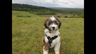Waffle the Tibetan Terrier Puppy  2 Weeks Residential Dog Training