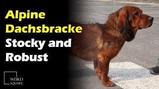 The Alpine Dachsbracke is a stocky and robust breed of Scent Hound