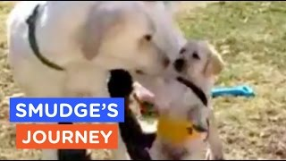 A Guide Dog's Life: Smudge's Journey Ep. 3 | The Dodo thumbnail