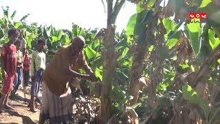 كارثة وشيكة تهدد زراعة الموز في محافظة أبين