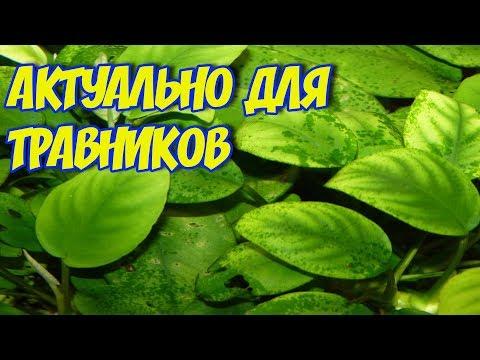 КСЕНОКОКУС в аквариуме! Зеленые точки на стеклах и листьях растений! Как я с ним боролся!