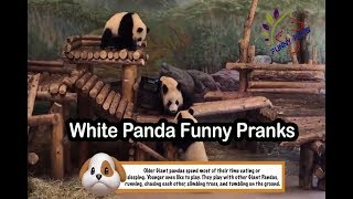 White Panda Funny Pranks   Funny Panda Videos   Funny Pets
