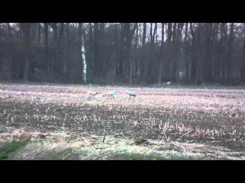 Kraanvogels Wierden