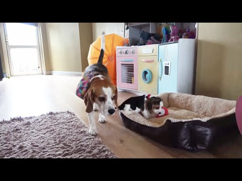 Smart dog trades with puppy for favorite toy