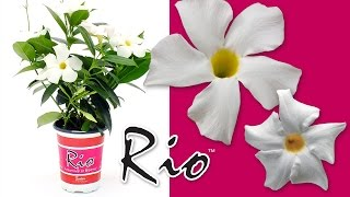 introducing rio dipladenia white