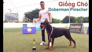 T1: Tìm Hiểu về Giống Chó Doberman Pinscher/ Giống Chó đẹp /NhamTuatTV-Dog in Vietnam
