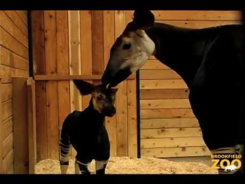 Rare Okapi Calf Born at Brookfield Zoo