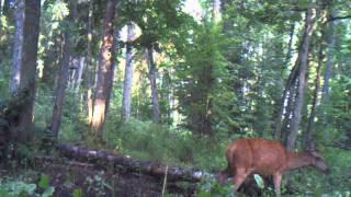 Łowiectwo Moja Pasja - Życie Zwierząt Puszczy Boreckiej - Moultrie Panoramic 150