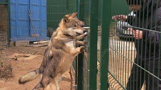 Как поймать волка голыми руками